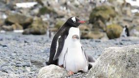Pinguim de Gentoo com pintainho video estoque