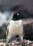 Pinguim de Gentoo com pintainho Imagens de Stock Royalty Free