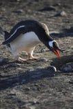Pinguim de Gentoo - Continente antárctico Fotos de Stock Royalty Free