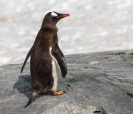 Pinguim de Gentoo em Continente antárctico imagem de stock
