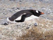 Pinguim de Gentoo em Continente antárctico Foto de Stock
