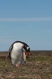 Pinguim de Gentoo - Falkland Islands Fotos de Stock Royalty Free