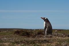 Pinguim de Gentoo - Falkland Islands Imagem de Stock