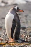 Pinguim de Gentoo, Geórgia sul, a Antártica Fotografia de Stock Royalty Free