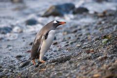 Pinguim de Gentoo, Geórgia sul, a Antártica Fotos de Stock
