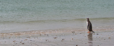 Pinguim de Gentoo na praia que olha o oceano Imagem de Stock