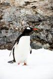 Pinguim de Gentoo ou pygoscellis papua Imagem de Stock