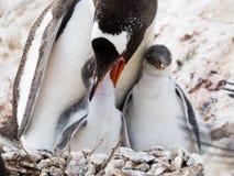 Pinguim de Gentoo, Pygoscelis papua, pintainho de alimentação da mãe, Antarcti fotografia de stock