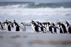 Pinguim de Gentoo (Pygoscelis papua) que sai da ressaca Imagem de Stock