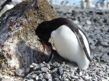 Pinguim de Gentoo que alimenta um pintainho imagens de stock