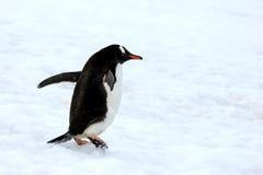Pinguim de Gentoo que anda na neve na península antártica fotos de stock