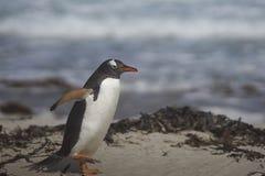 Pinguim de Gentoo que vem em terra na ilha de Saunders Imagem de Stock Royalty Free