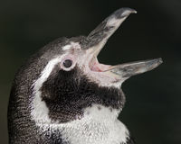 Pinguim de Humboldt Imagem de Stock