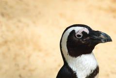 Pinguim de Humboldt Imagens de Stock