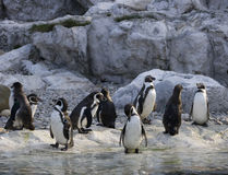 Pinguim de Humboldt Foto de Stock