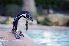 Pinguim de Humboldt Fotografia de Stock Royalty Free