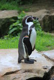 Pinguim de Humboldt Fotos de Stock