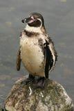 Pinguim de Humboldt fotografia de stock