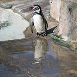 Pinguim de Humboldt e sua reflexão Foto de Stock Royalty Free