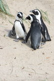 Pinguim de Humboldt (humboldti do Spheniscus) Imagens de Stock