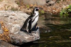 Pinguim de Humboldt, humboldti do Spheniscus no jardim zoológico fotos de stock