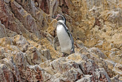 Pinguim de Humboldt na costa peruana Foto de Stock Royalty Free