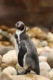 Pinguim de Humboldt que está em uma rocha fotografia de stock royalty free