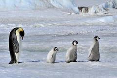 Pinguim de imperador fotos de stock