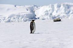 Pinguim de imperador Fotografia de Stock