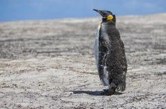 Pinguim de imperador em fazer a muda Foto de Stock Royalty Free