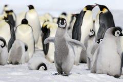 Pinguim de imperador (forsteri do Aptenodytes) imagens de stock