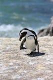 Pinguim de Jackass Fotos de Stock Royalty Free