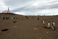 Pinguim de Magellan Foto de Stock Royalty Free