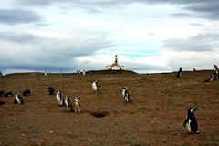 Pinguim de Magellan Imagem de Stock Royalty Free