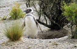 Pinguim de Magellan Imagens de Stock