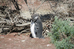 Pinguim de Magellan Fotografia de Stock