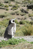 Pinguim de Magellan na costa Imagem de Stock