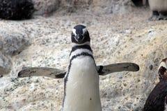 Pinguim de Magellanic em um jardim zoológico em Califórnia fotos de stock royalty free