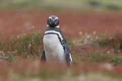 Pinguim de Magellanic em uma pastagem Fotografia de Stock
