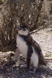 Pinguim de Magellanic no Patagonia Imagem de Stock Royalty Free