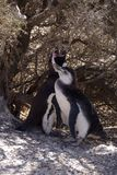 Pinguim de Magellanic no Patagonia Fotografia de Stock Royalty Free