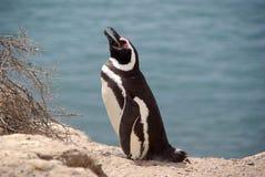 Pinguim de Magellanic no Patagonia Fotografia de Stock