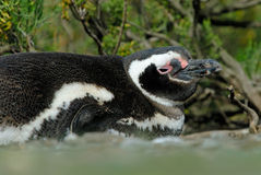 Pinguim de Magellanic que descansa no Patagonia Imagem de Stock