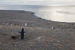 Pinguim de Magellanic que olha no panorama Imagem de Stock