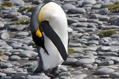 Pinguim de rei Fotografia de Stock Royalty Free