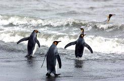 Pinguim de rei Fotografia de Stock