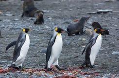 Pinguim de rei foto de stock
