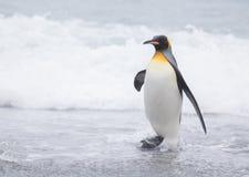 Pinguim de rei na planície de Salisbúria da praia fotografia de stock