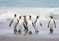 Pinguim de rei na planície de Salisbúria da praia foto de stock royalty free