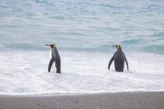 Pinguim de rei na planície de Salisbúria da praia imagens de stock royalty free